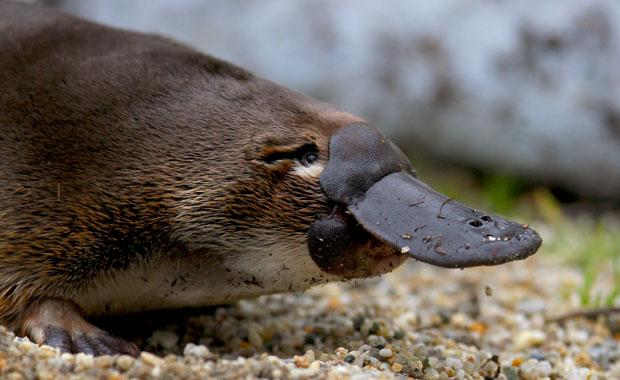 platypus-HS-animal-profile-web620
