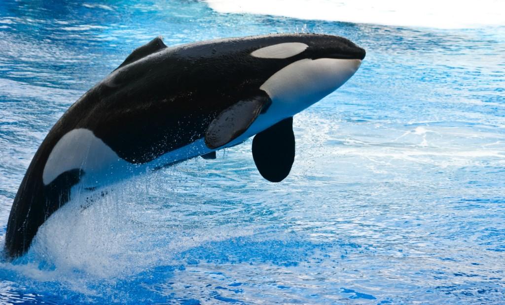 jumping-orca