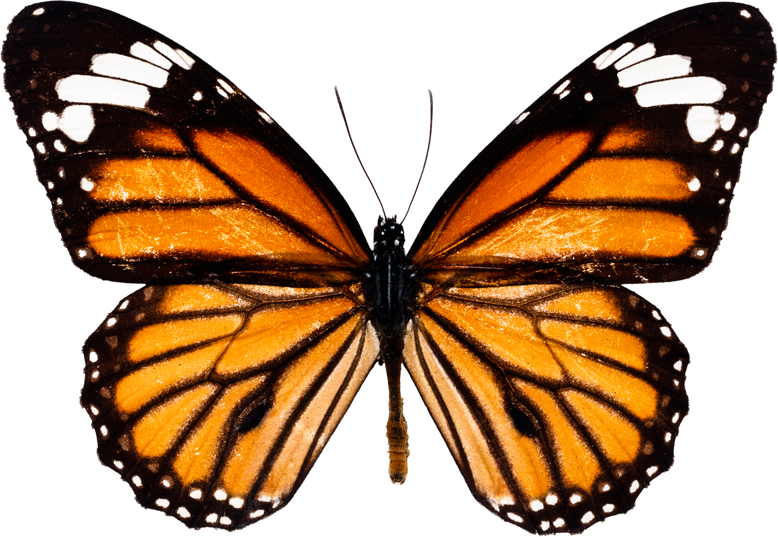 butterfly_PNG1037